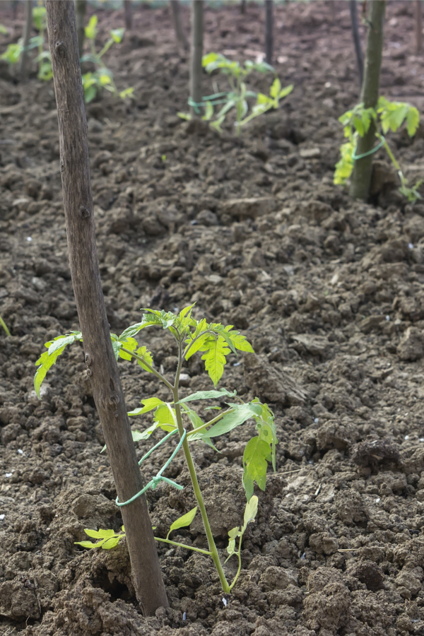 help struggling tomatoes