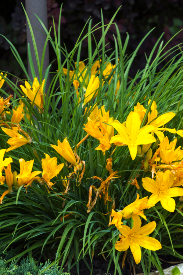 what to do with daylilies after they bloom