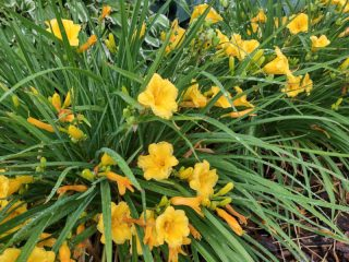 what to do with daylilies in the summer