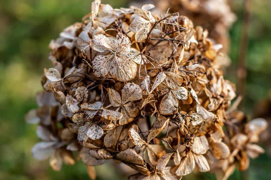 virágzó hortenzia a száron