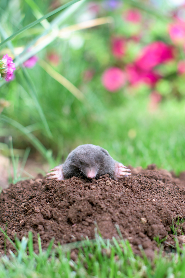 how to keep ground moles out