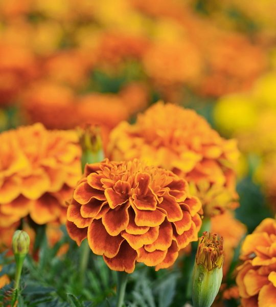 how to keep marigolds blooming