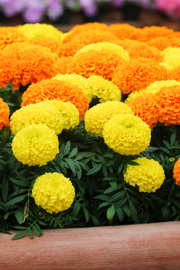 fertilizing marigolds to keep them blooming