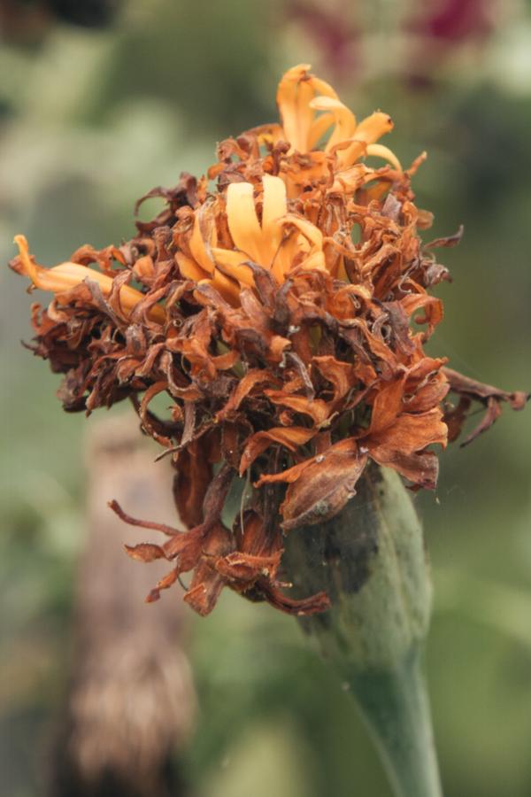 deadheading marigolds
