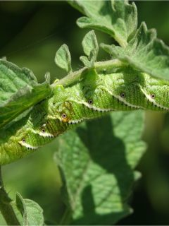 how to stop tomato hornworms