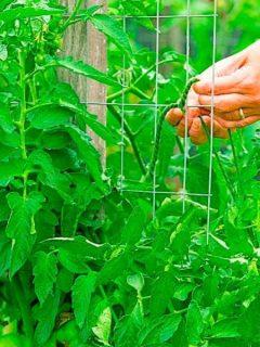 best way to tie up tomato plants