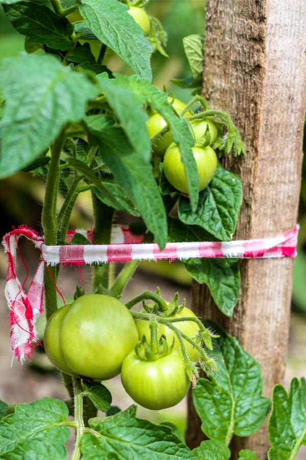 tying up tomato plants