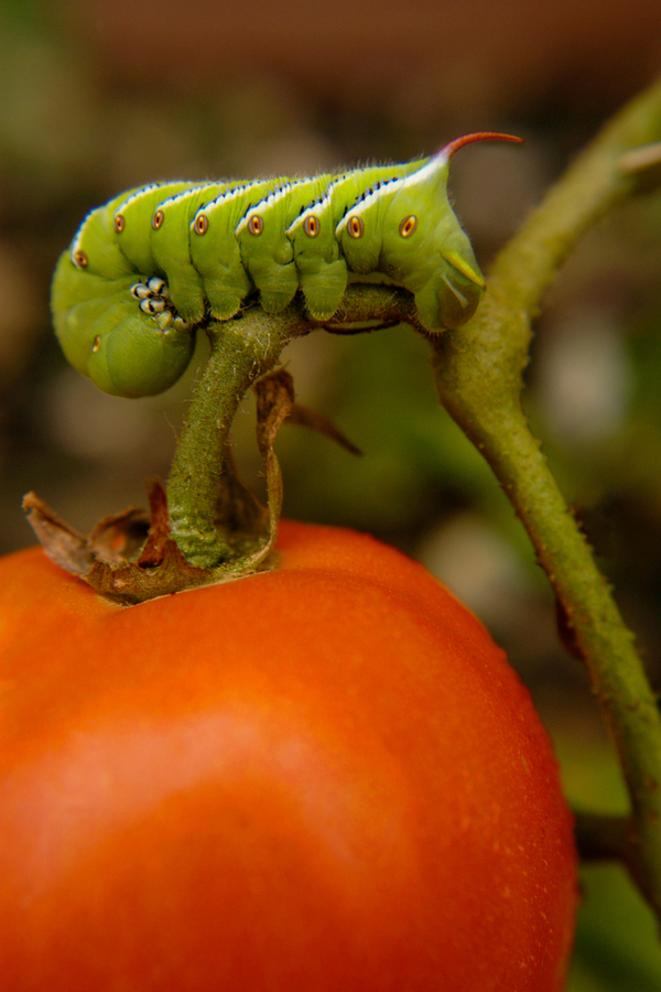stopping the tomato hornworm