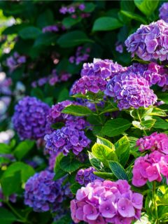 hydrangeas after they bloom