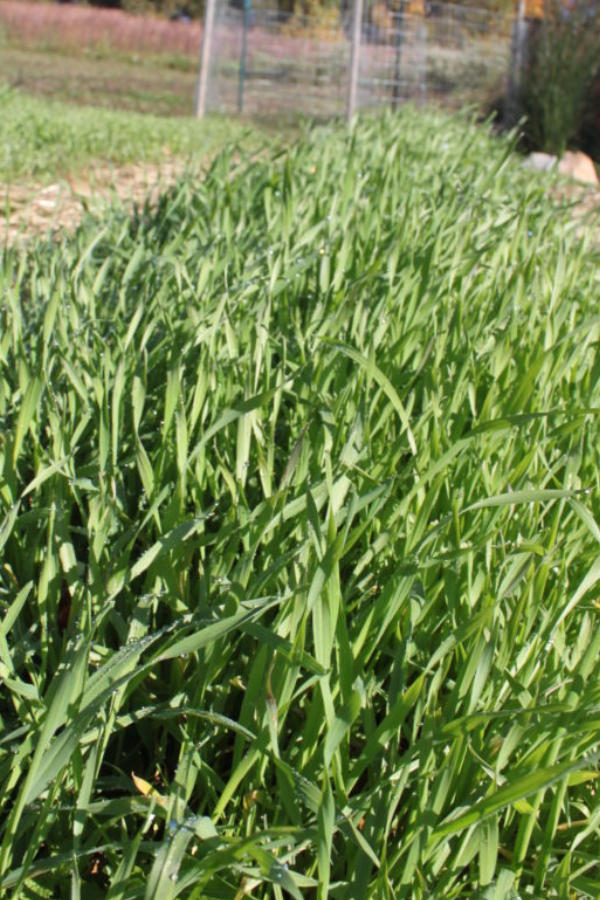 hogyan ültessünk takarónövényt