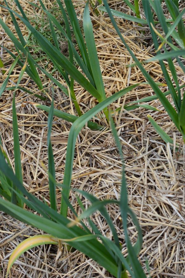 hogyan kell ültetni hagymát - talajtakarás
