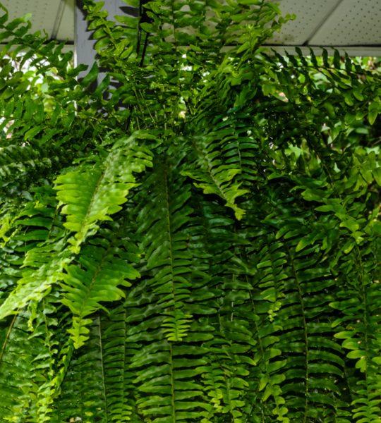 how to split overgrown ferns