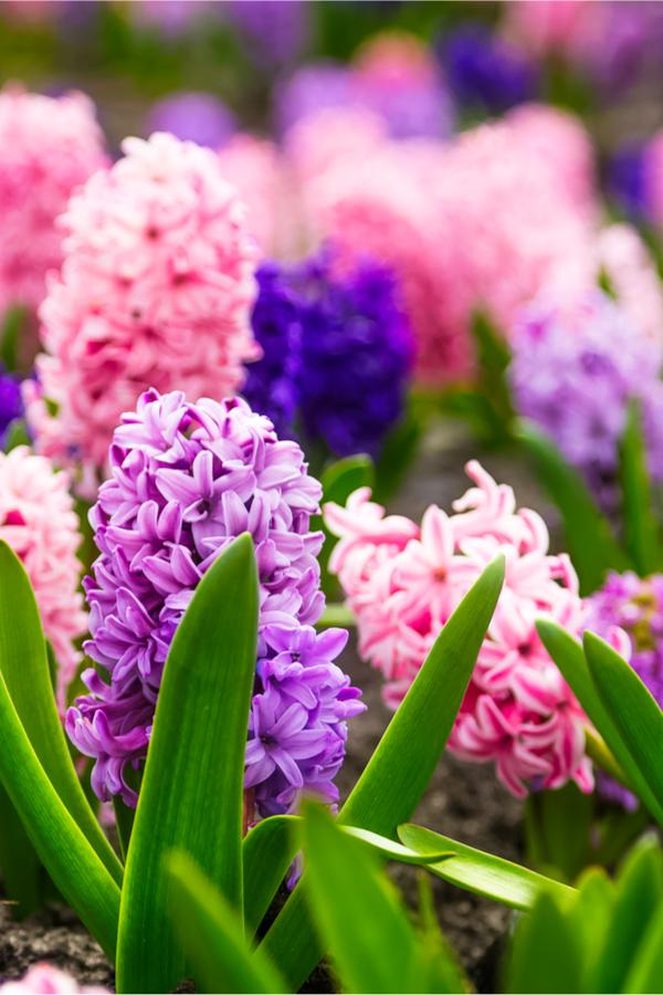 hyacinth in full bloom