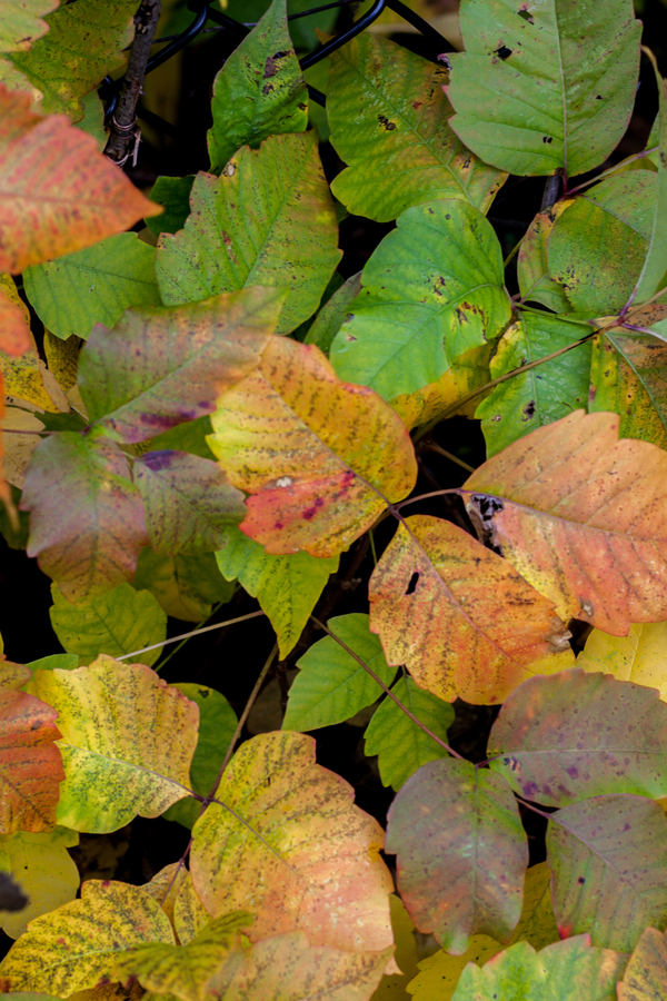 how to get of poison ivy in the fall