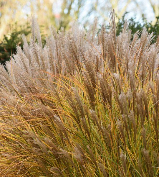 fall care for ornamental grasses